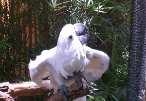 Cockatoo at the Dallas Zoo